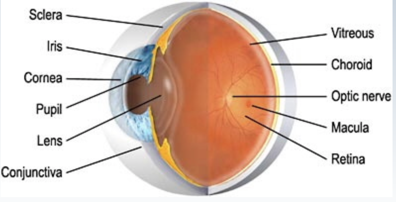 Picture of eye with the structures labelled