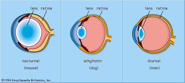 Structural differences in the eyes of nocturnal animals arizona lens anatomy ccuart Choice Image