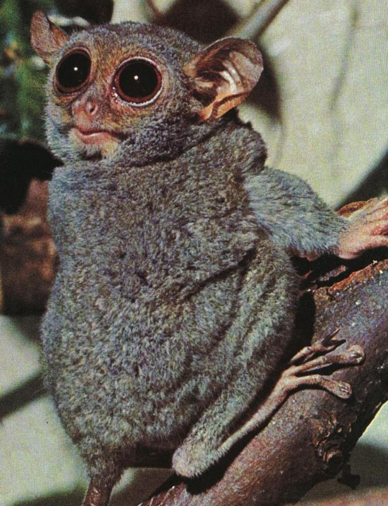 Tarsiers are nocturnal